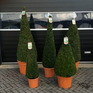 Buxus Cone's