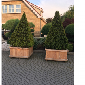 Taxus Egypt Cone