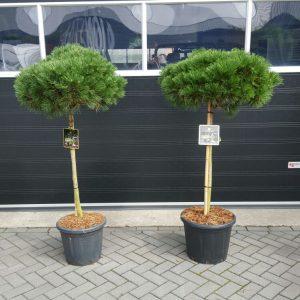 Pinus Brepo 75 stam[1]