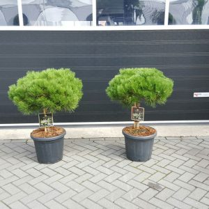 Pinus Brepo bol 6070 cm 30 stam[1]