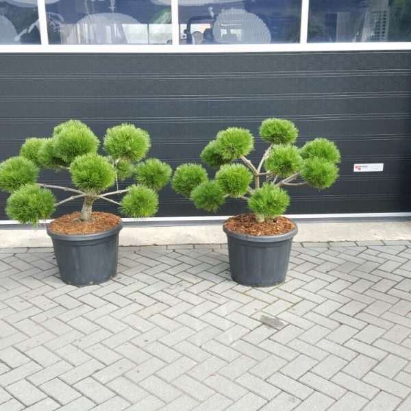 Pinus brepo bonsaii 45 ltr[1]