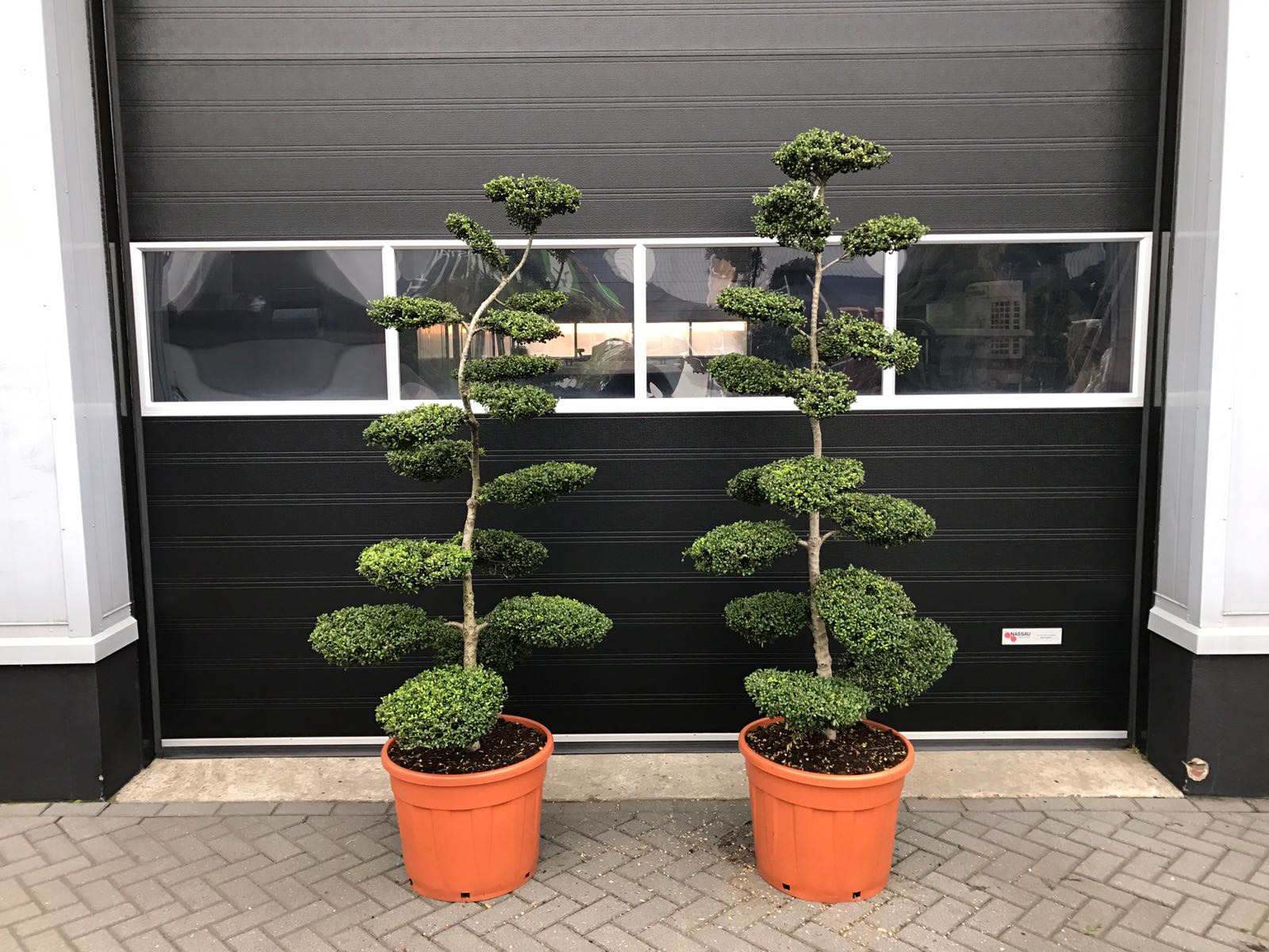 ilex crenata bonsai 150 175 cm pwm mandemakers garden plants. Black Bedroom Furniture Sets. Home Design Ideas