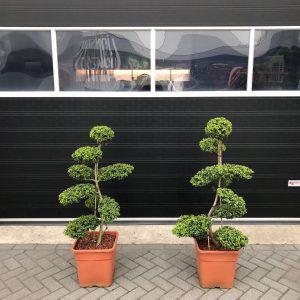 ilex crenata kinme bonsai pwm mandemakers garden plants. Black Bedroom Furniture Sets. Home Design Ideas